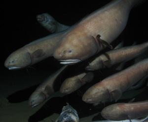Cusk Eels
